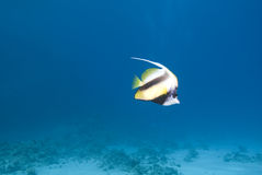 Red Sea Bannerfish Stock Image
