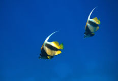 Red sea bannerfish Royalty Free Stock Images