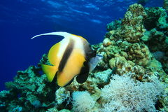 Red Sea Bannerfish Stock Photo