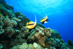 Red Sea Bannerfish Royalty Free Stock Photography