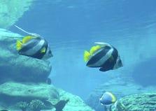 Red Sea bannerfish. Heniochus intermedius Royalty Free Stock Photo