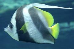 Red Sea bannerfish. Heniochus intermedius Royalty Free Stock Image