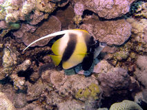 Red Sea Bannerfish Stock Images