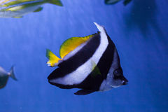 Red sea bannerfish close up Stock Image