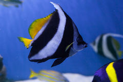 Red sea bannerfish closeup Royalty Free Stock Image