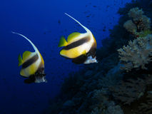 Red Sea Bannerfish - Heniochus intermedius. Pair of Red Sea Bannerfish - Heniochus intermedius swimming along a coral reef Stock Photo