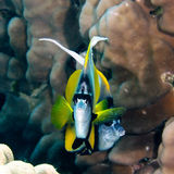 Red sea bannerfish Stock Photography