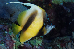 Red Sea bannerfish - Red Sea, Egypt. The Red Sea bannerfish is often found cruising on red Sea reefs.  This picture was taken on St John Reef, Red Sea, Egypt, in Royalty Free Stock Image