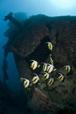 Red Sea Bannerfish schooling on a shipwreck. Royalty Free Stock Photo
