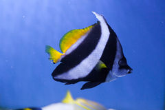 Red sea bannerfish swims in the sea Royalty Free Stock Images
