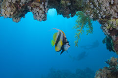 Red Sea bannerfish under an overhang. Red Sea bannerfish on a coral reef under an overhang with scuba divers in background Stock Photography
