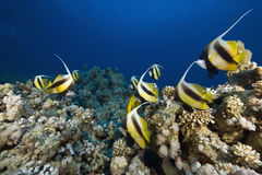 Red sea bannerfishes (heniochus intermedius) Royalty Free Stock Photos
