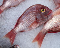 Red sea bream fish Stock Photos