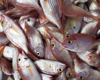 Red sea bream fish Royalty Free Stock Photo