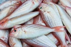 Red sea bream fish Royalty Free Stock Image