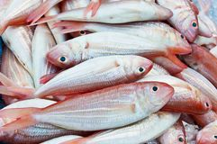 Red sea bream fish Royalty Free Stock Photos