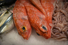 Red sea bream on ice bed  of local store . Stock Image