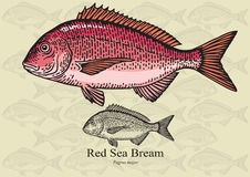 Red sea bream Royalty Free Stock Photo