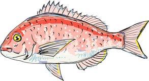 Red sea bream vector sketch illustration clip-art. Hand drawn Stock Photos