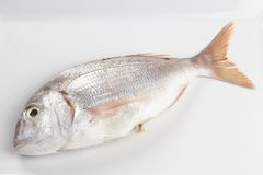 Red sea bream Royalty Free Stock Image