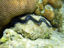 Red sea clam Royalty Free Stock Photos