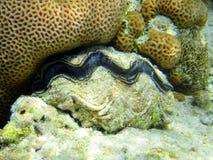 Red sea clam. Marine life, sharm el sheik, egypt Royalty Free Stock Photos