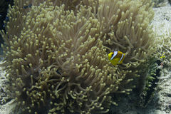 Red Sea clown fish Royalty Free Stock Image