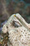 Red Sea combtooth blenny. Royalty Free Stock Photos