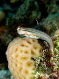 Red Sea combtooth blenny Stock Photos