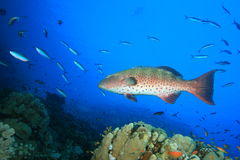 Red Sea Coral Grouper stock photo