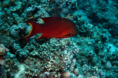Red sea coral grouper (plecropomus pessuliferus) Stock Photography