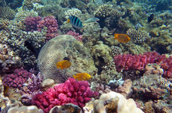 Red sea coral life. With various fishes Stock Image