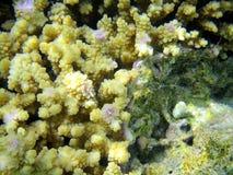 Red sea coral. Marine life, sharm el sheik, egypt Royalty Free Stock Photo