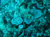 Red Sea Coral royalty free stock photo