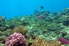 Red Sea coral reef. With a lot of fish Stock Images