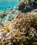 Red sea coral reef Stock Photos