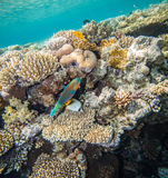Red sea coral reef. Scarus fish and chaetodon hidding. Underwater landscape. Red sea coral reef Stock Photography