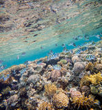 Red sea coral reef. Shoal of abudefduf.Underwater landscape. Red sea coral reef.  Different corals background Royalty Free Stock Photos