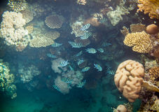 Red sea coral reef. Shoal of abudefduf.Underwater landscape. Red sea coral reef.  Different corals background Stock Photos