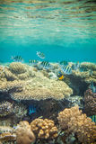 Red sea coral reef. Shoal of abudefduf.Underwater landscape. Red sea coral reef.  Different corals background Stock Photo