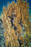 Red sea coral reef. Underwater landscape. Red sea coral reef. Big millepora dichotoma plantation Stock Images