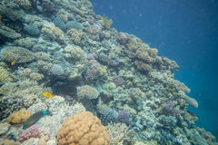 Red sea coral reef. Underwater landscape. Red sea coral reef. Different corals Royalty Free Stock Image