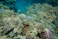 Red sea coral reef. Underwater landscape. Red sea coral reef. Different corals Stock Images