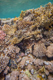 Red sea coral reef. Underwater landscape. Red sea coral reef. Different corals in coral wall Stock Photography
