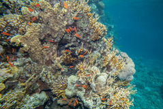 Red sea coral reef. Underwater landscape. Red sea coral reef and sea goldie fish Stock Images