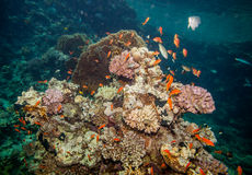 Red sea coral reef. Underwater landscape. Red sea coral reef and many sea goldies, hard corals and rocks Stock Photo
