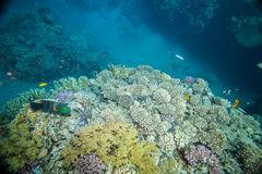 Red sea coral reef. Underwater landscape. Red sea coral reef. Many little fishes Stock Photos