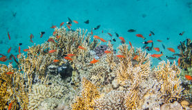 Red sea coral reef. Underwater landscape. Red sea coral reef surrounded with many sea goldie fishes Stock Photography