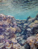 Red sea coral reef. Underwater landscape. Red sea coral reef. Coral wall Stock Images
