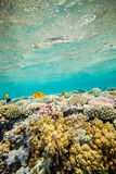 Red sea coral reef. Underwater landscape. Red sea coral reef.  Water surface Royalty Free Stock Photos